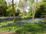 Image: Country Park bluebells